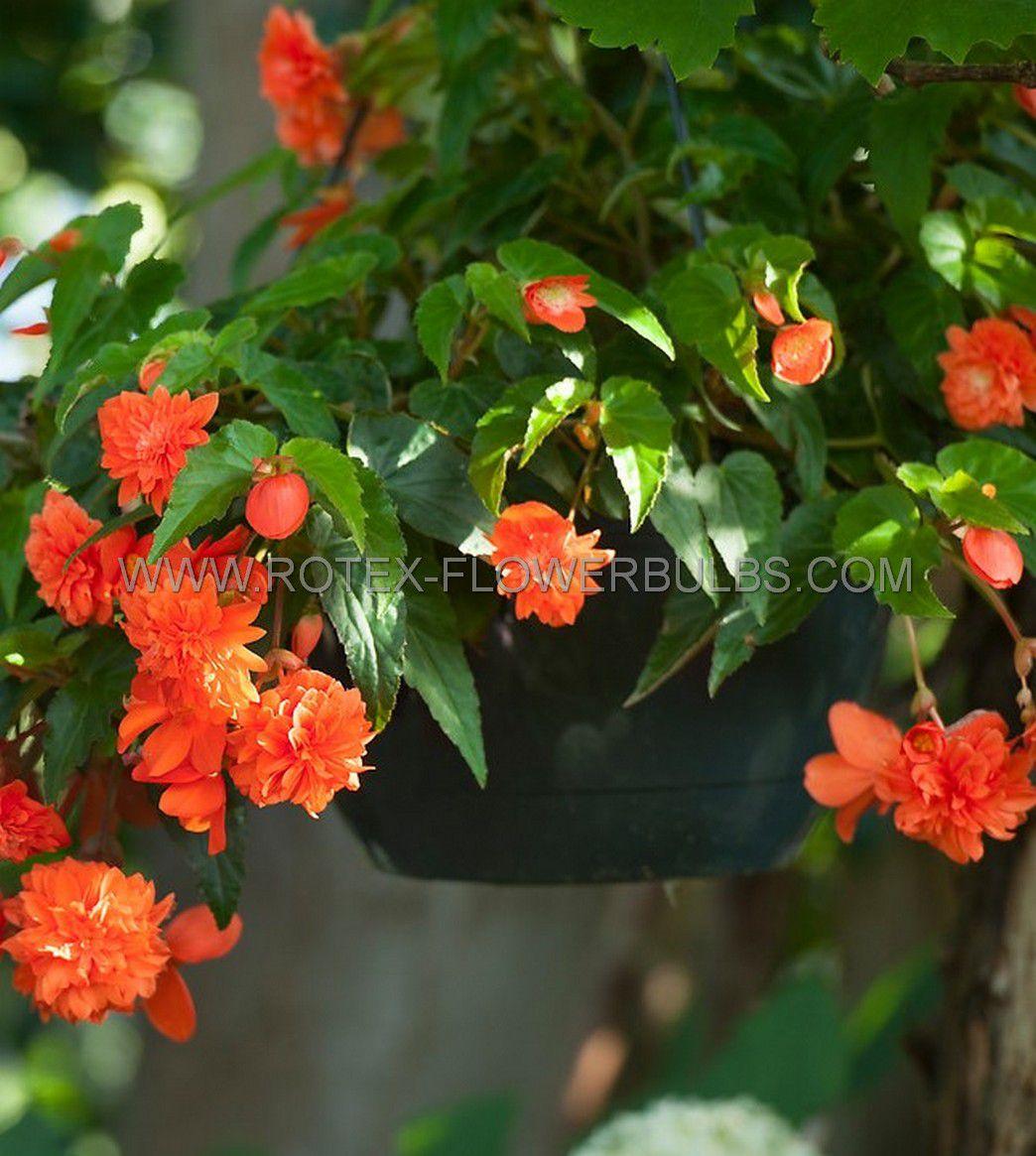 begonia pendula orange 6 25 pbinbox