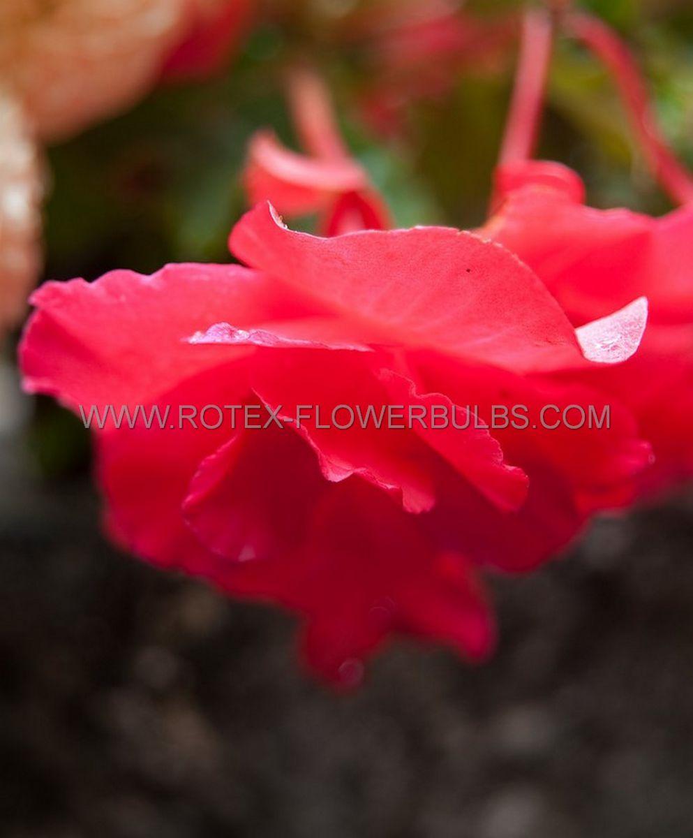 begonia pendula pink 6 cm 15 pkgsx 1