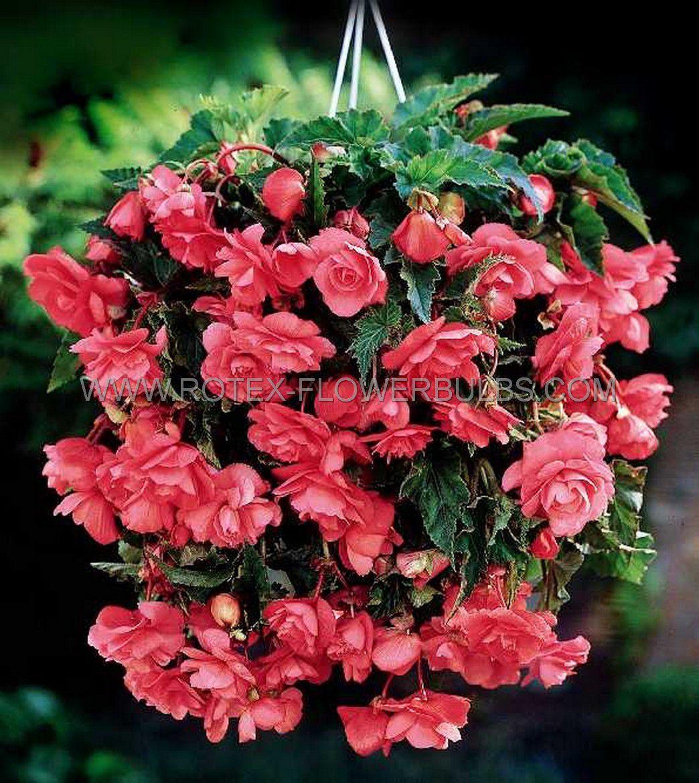 begonia pendula pink 6 cm 25 pbinbox