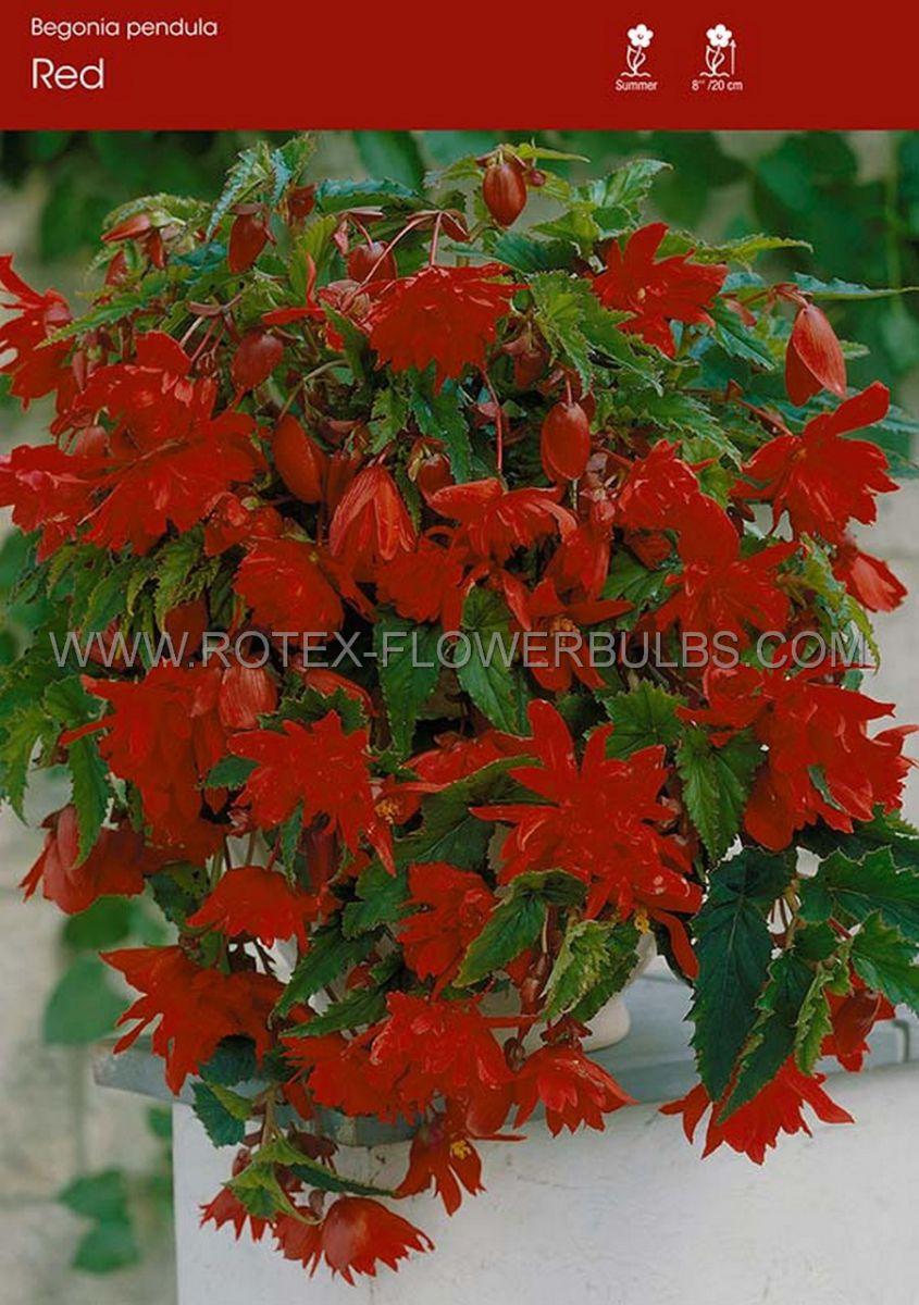 begonia pendula red 6 cm 25 pbinbox