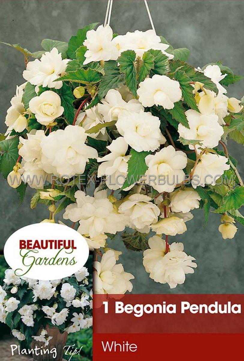begonia pendula white 6 cm 15 pkgsx 1