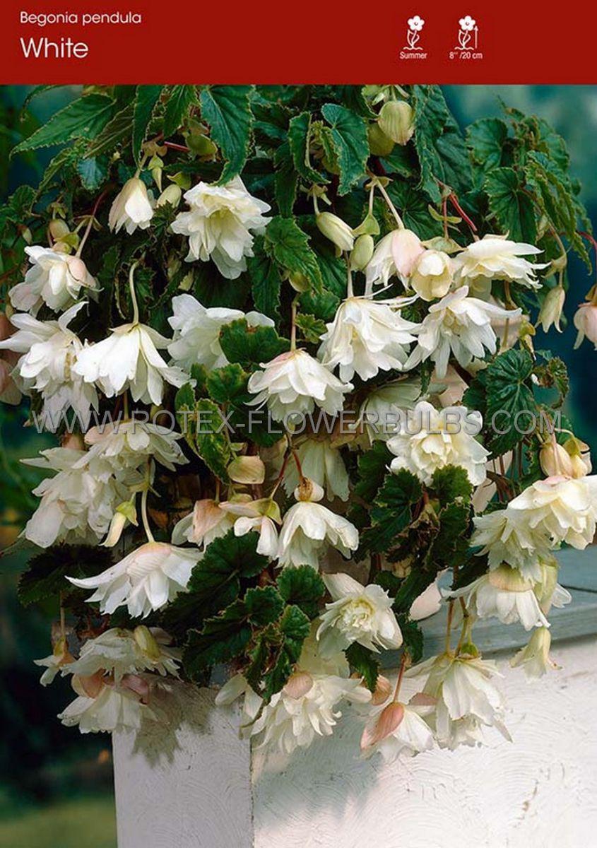 begonia pendula white 6 cm 25 pbinbox