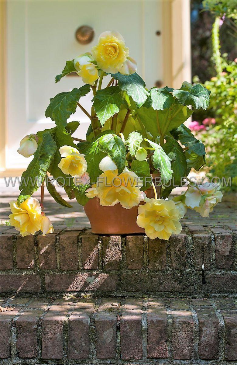 begonia pendula yellow 6 cm 15 pkgsx 1