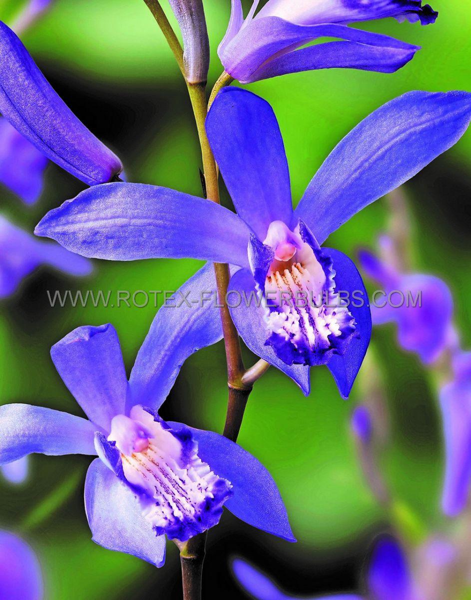 bletilla hardy orchid striata blue dragon i 25 pbag
