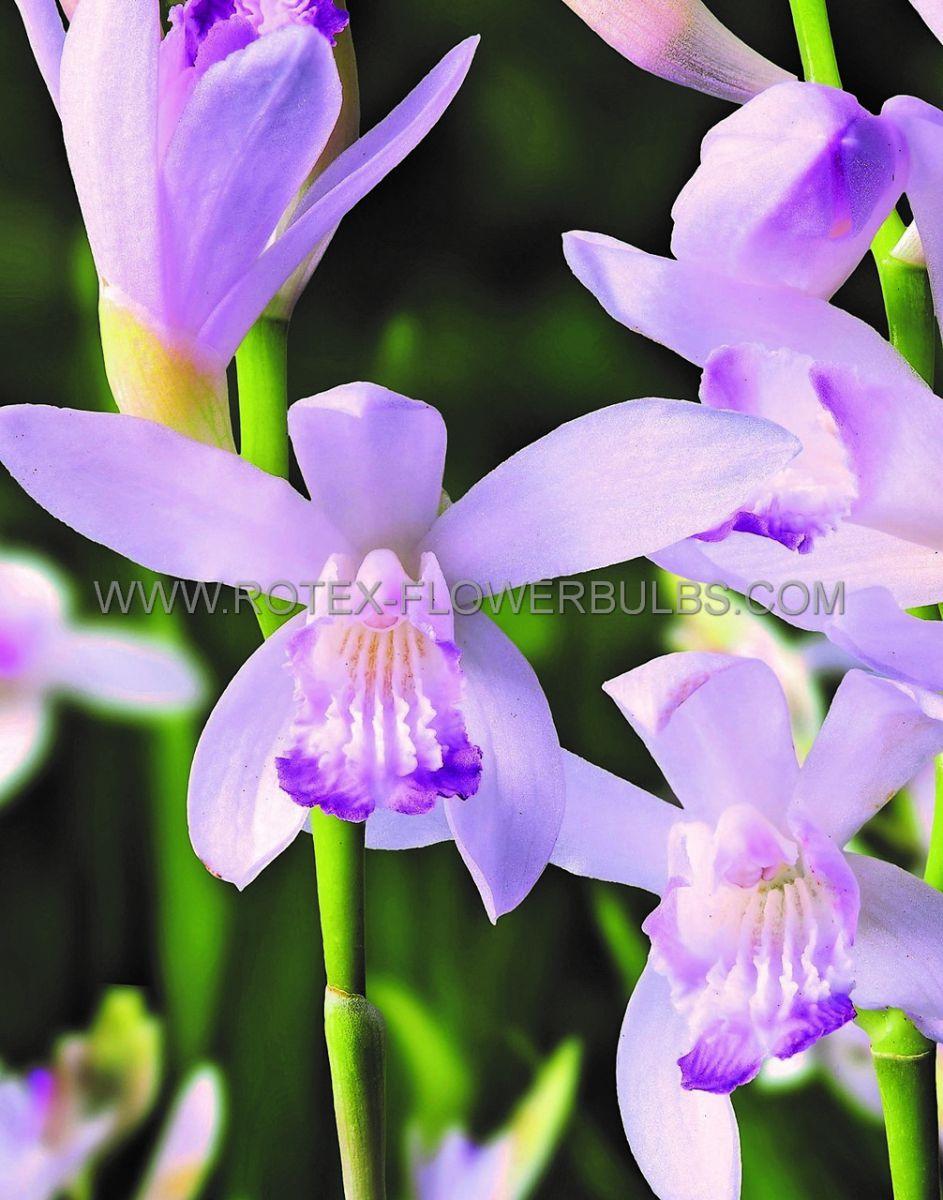 bletilla hardy orchid striata kuchibeni i 25 pbag