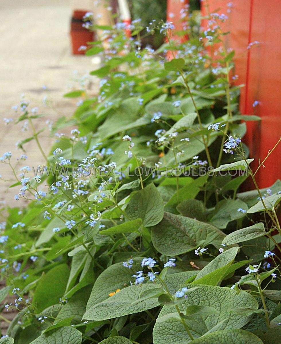 brunnera siberian bugloss macrophylla i 25 pbag
