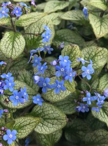 BRUNNERA (SIBERIAN BUGLOSS) MACROPHYLLA 'SILVER SPEAR' I (25 P.BAG)