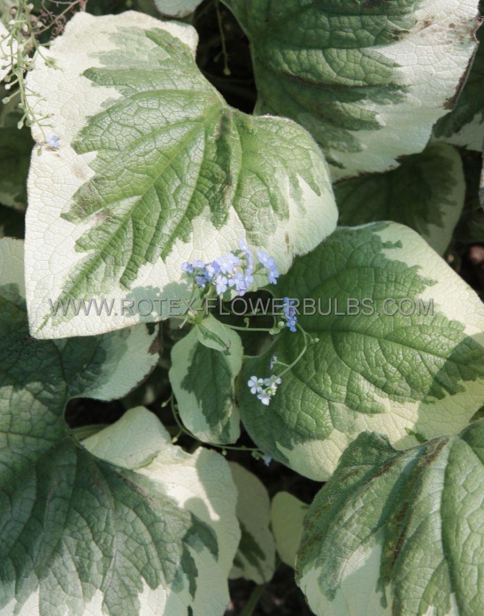 brunnera siberian bugloss macrophylla variegata i 25 pbag