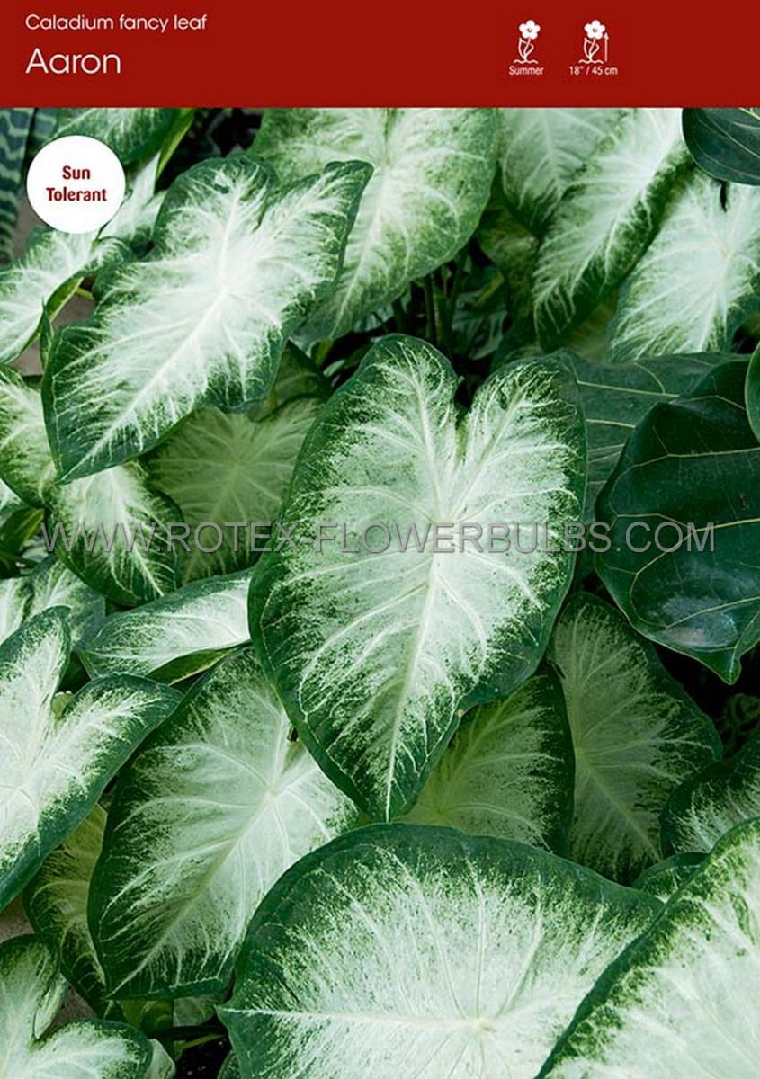 caladium fancy leaved aaron jumbo 100 pcarton