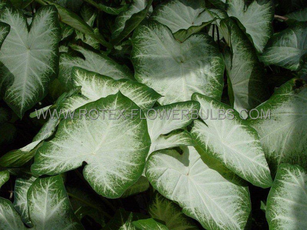 caladium fancy leaved aaron jumbo 100 pcarton