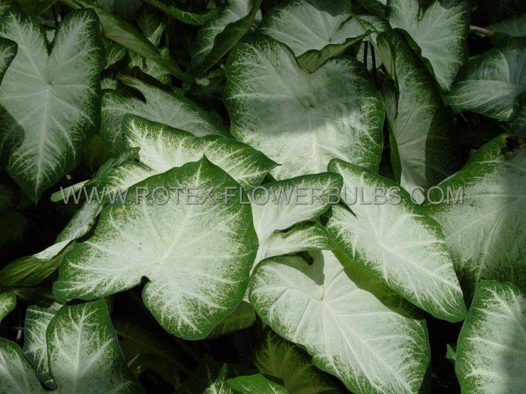 caladium fancy leaved aaron no2 400 pcarton
