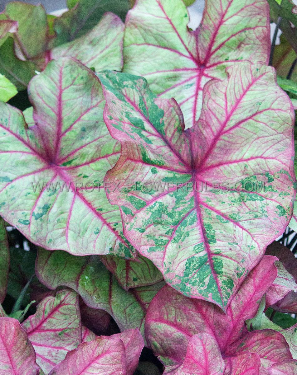caladium fancy leaved autumn beauty mammoth 50 pcarton