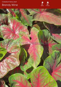 CALADIUM FANCY LEAVED 'BRANDYWINE' JUMBO (100 P.CARTON)