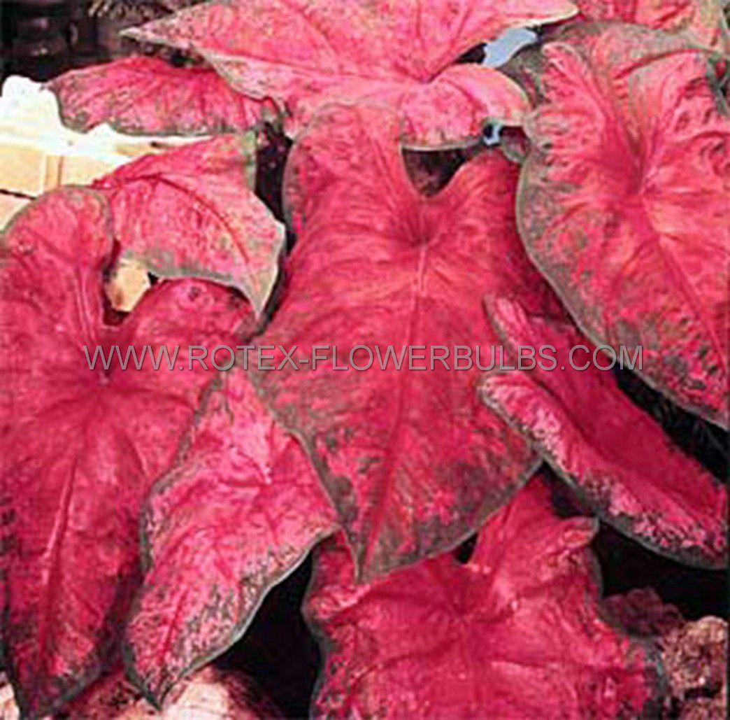 caladium fancy leaved brandywine jumbo 100 pcarton