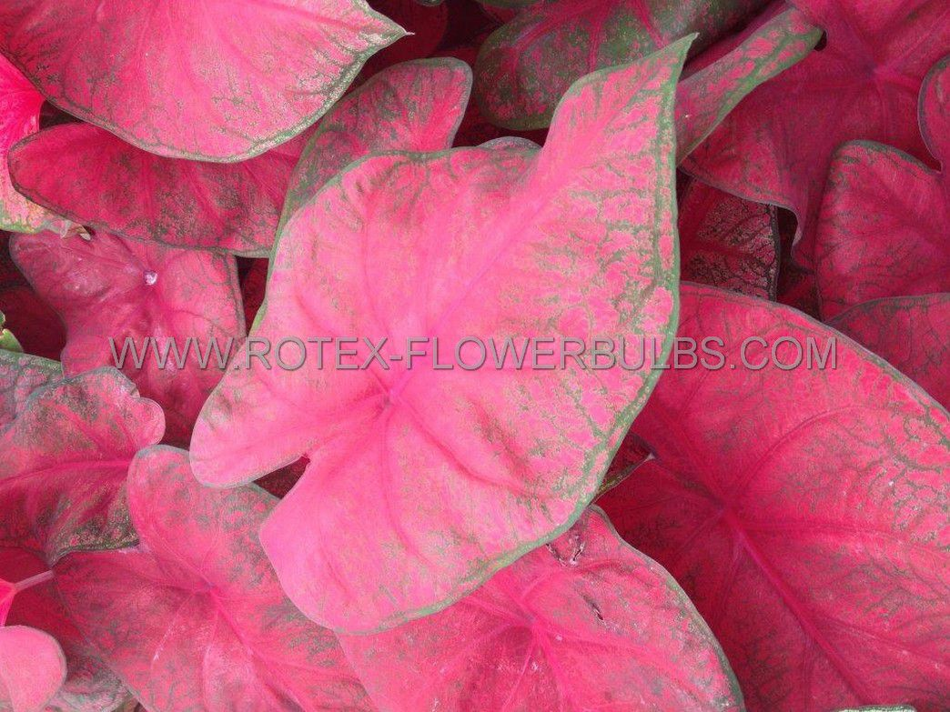 caladium fancy leaved brandywine jumbo 100 pcarton