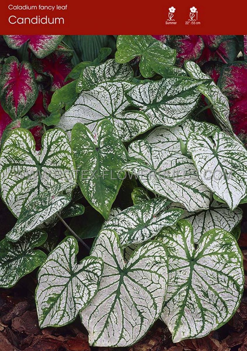 caladium fancy leaved candidum jumbo 100 pcarton