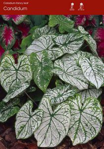 CALADIUM FANCY LEAVED 'CANDIDUM' JUMBO (100 P.CARTON)