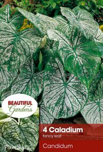 CALADIUM FANCY LEAVED 'CANDIDUM' NO.2 (15 PKGS.X 4)