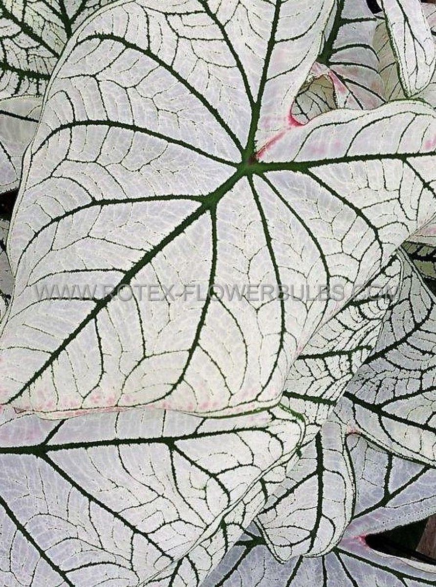 caladium fancy leaved candidum senior jumbo 100 pcarton