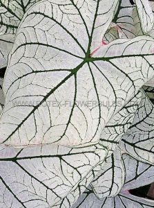 CALADIUM FANCY LEAVED 'CANDIDUM SENIOR' JUMBO (100 P.CARTON)
