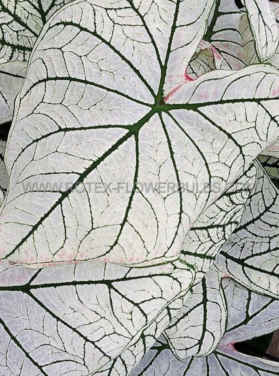 caladium fancy leaved candidum senior jumbo 100 pcarton