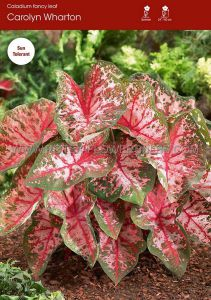 CALADIUM FANCY LEAVED 'CAROLYN WHORTON' JUMBO (100 P.CARTON)
