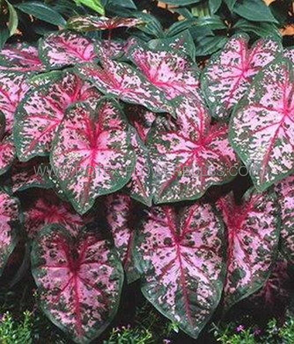 caladium fancy leaved carolyn whorton jumbo 100 pcarton