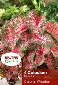 CALADIUM FANCY LEAVED 'CAROLYN WHORTON' NO.2 (15 PKGS.X 4)