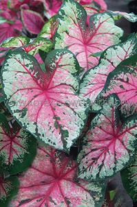 CALADIUM FANCY LEAVED 'CHERRY BLOSSOM' JUMBO (100 P.CARTON)