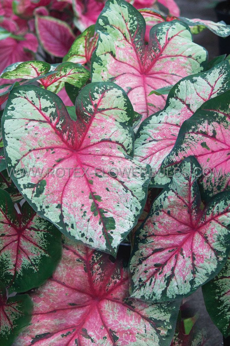 caladium fancy leaved cherry blossom no1 200 pcarton