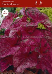 CALADIUM FANCY LEAVED 'FANNIE MUNSON' JUMBO (100 P.CARTON)