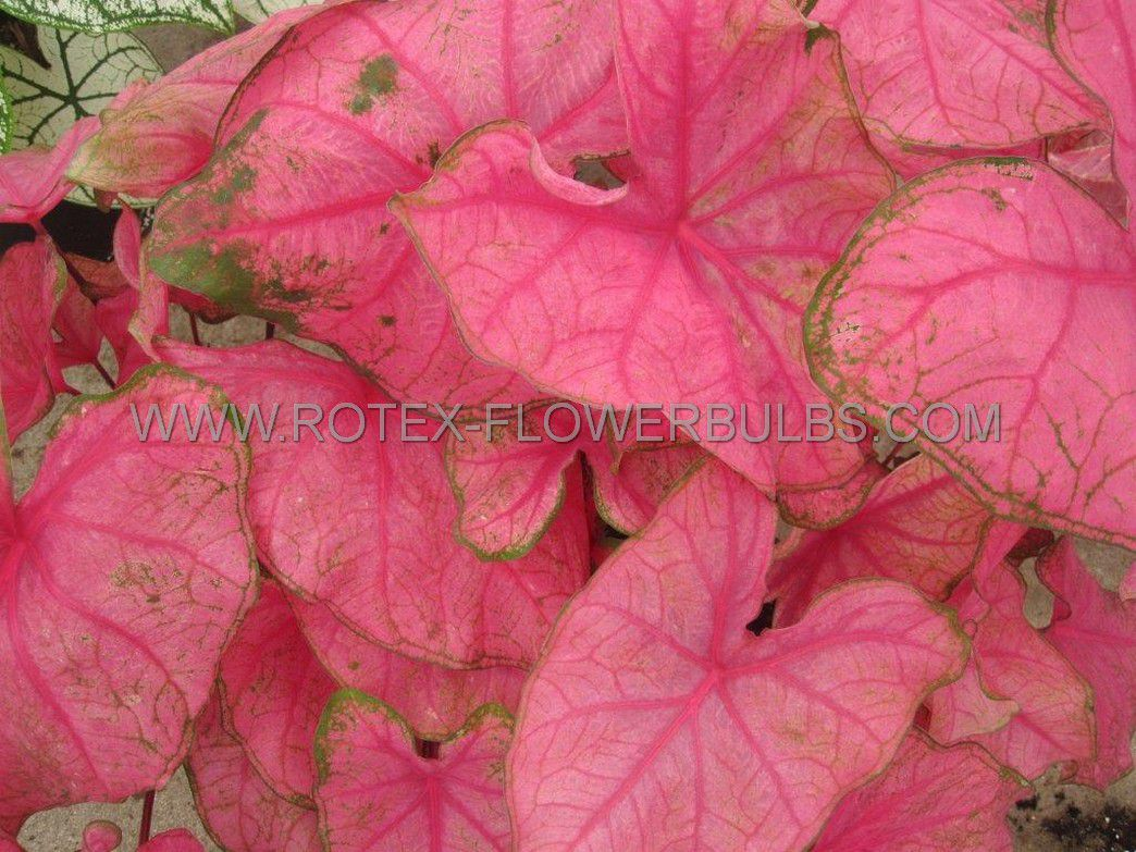 caladium fancy leaved fannie munson jumbo 100 pcarton