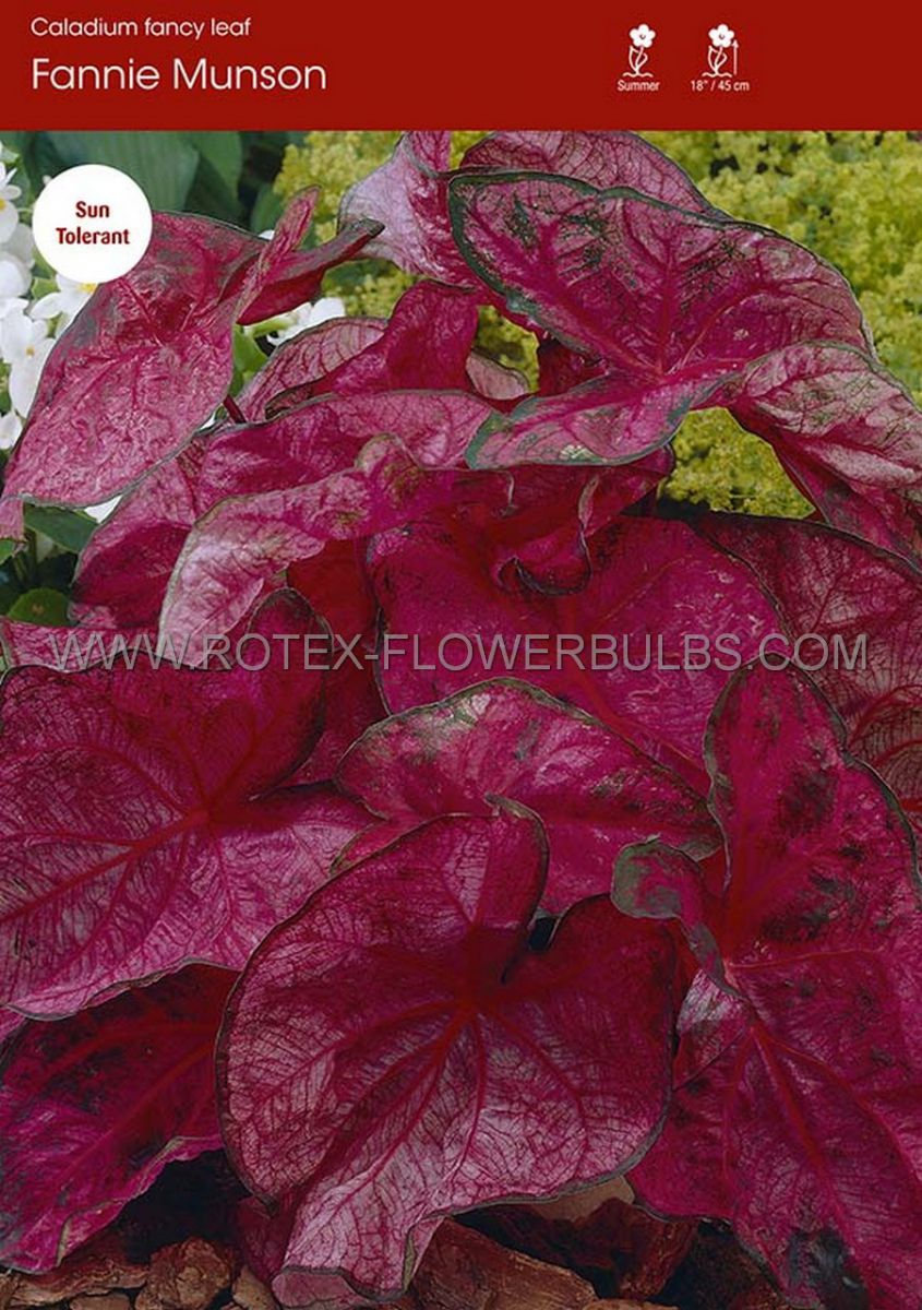 caladium fancy leaved fannie munson no1 200 pcarton