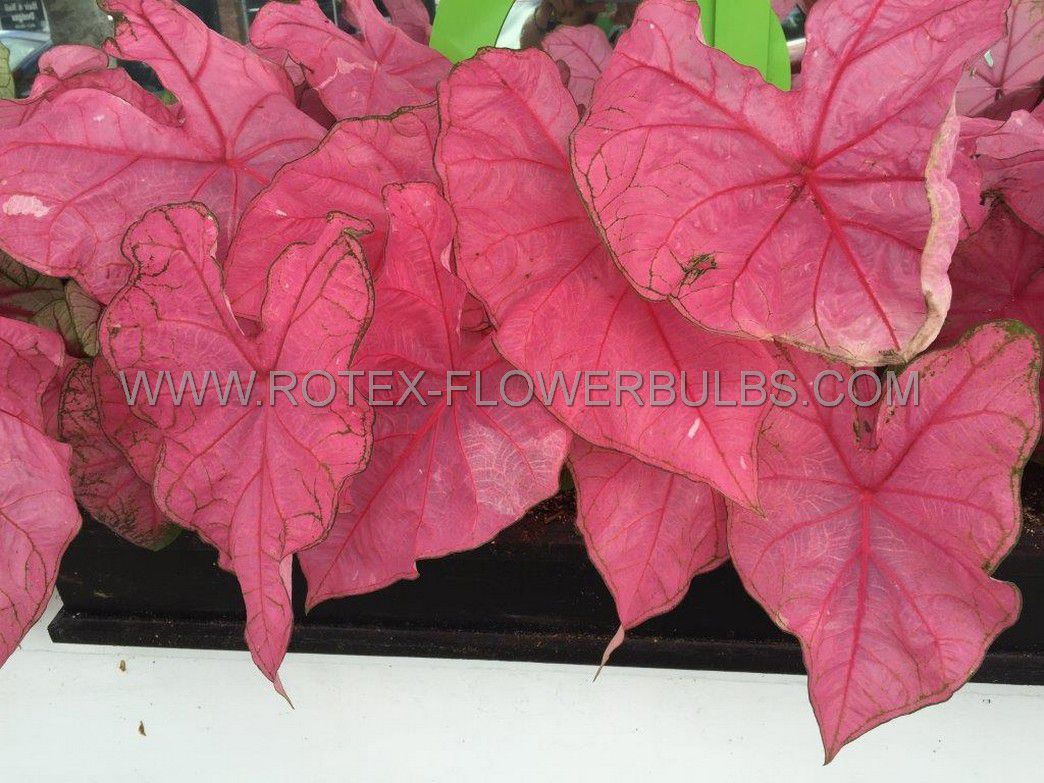 caladium fancy leaved fannie munson no1 50 pbinbox