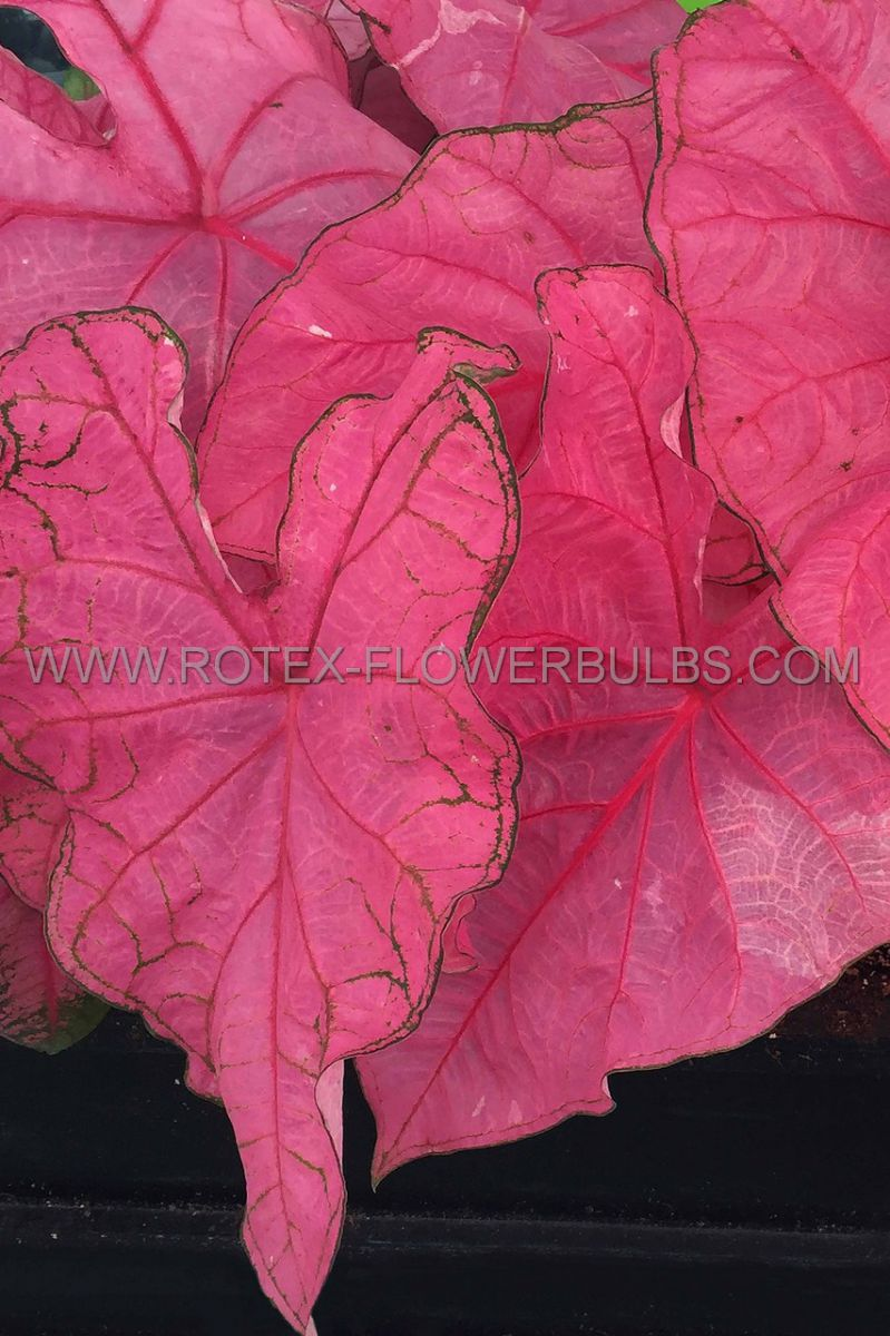 caladium fancy leaved fannie munson no1 50 pbinbox