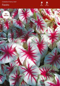 CALADIUM FANCY LEAVED 'FIESTA' JUMBO (100 P.CARTON)