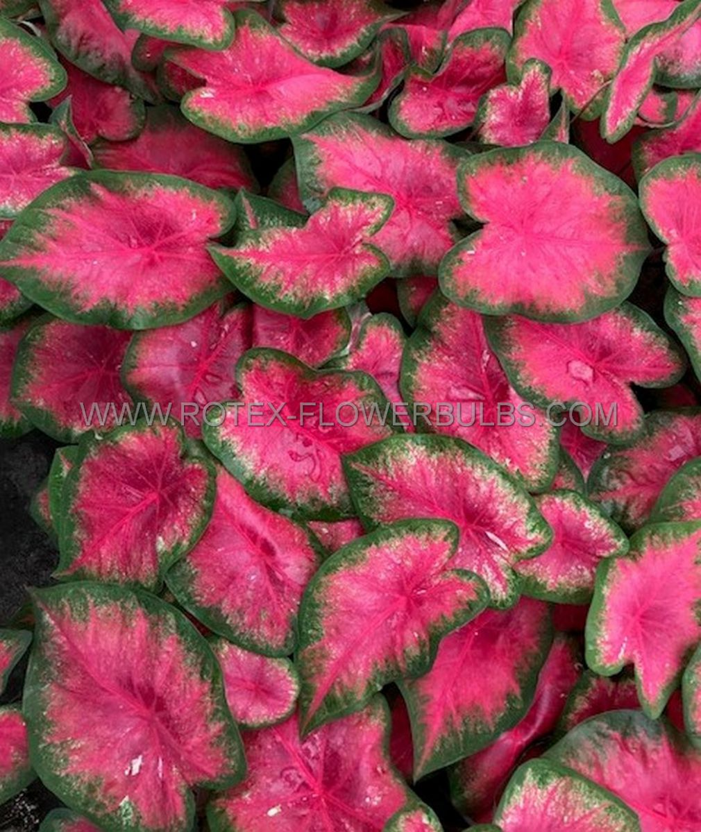 caladium fancy leaved flamingo mammoth 50 pcarton