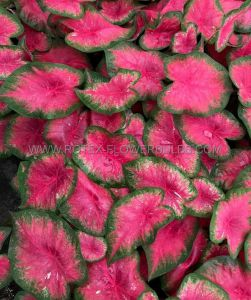 CALADIUM FANCY LEAVED 'FLAMINGO' NO.2 (400 P.CARTON)