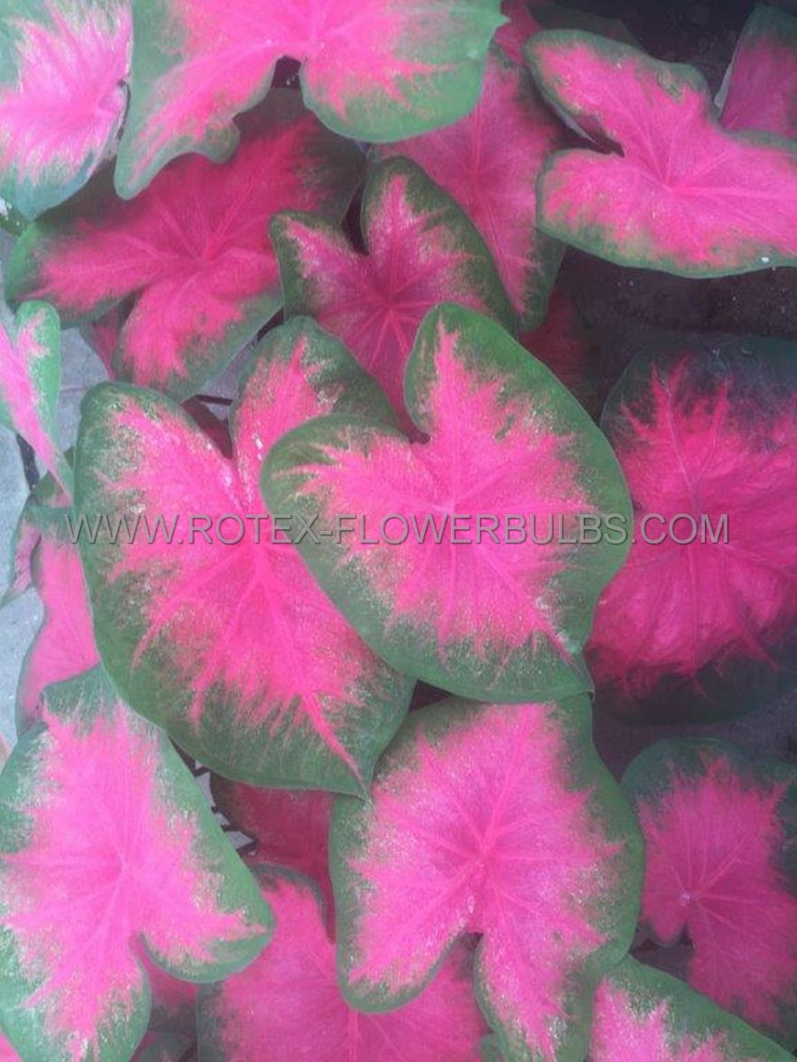 caladium fancy leaved flamingo no2 400 pcarton