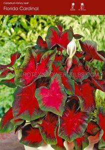 CALADIUM FANCY LEAVED 'FLORIDA CARDINAL' JUMBO (100 P.CARTON)