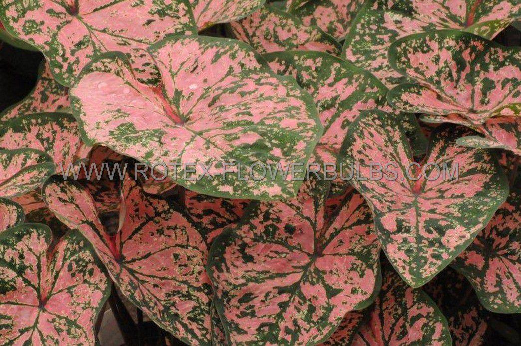 caladium fancy leaved florida elise jumbo 100 pcarton