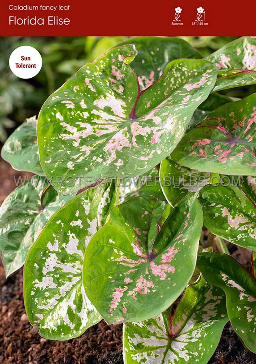 caladium fancy leaved florida elise no2 400 pcarton