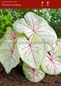 CALADIUM FANCY LEAVED 'FLORIDA FANTASY' JUMBO (100 P.CARTON)