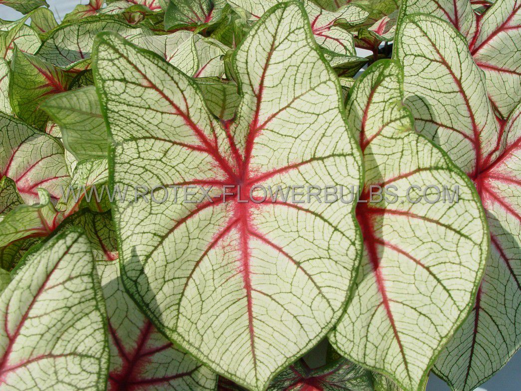 caladium fancy leaved florida fantasy jumbo 100 pcarton