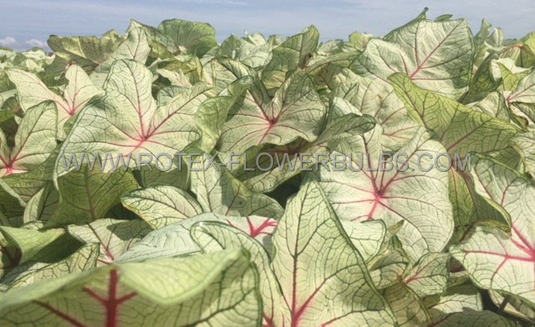 caladium fancy leaved florida fantasy no1 200 pcarton