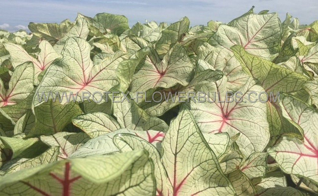 caladium fancy leaved florida fantasy no2 400 pcarton