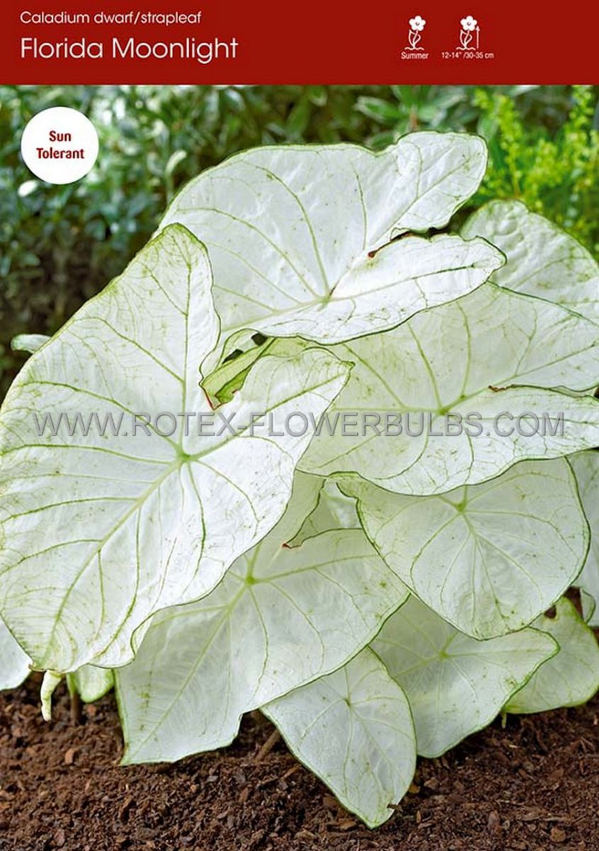 caladium fancy leaved florida moonlight jumbo 100 pcarton