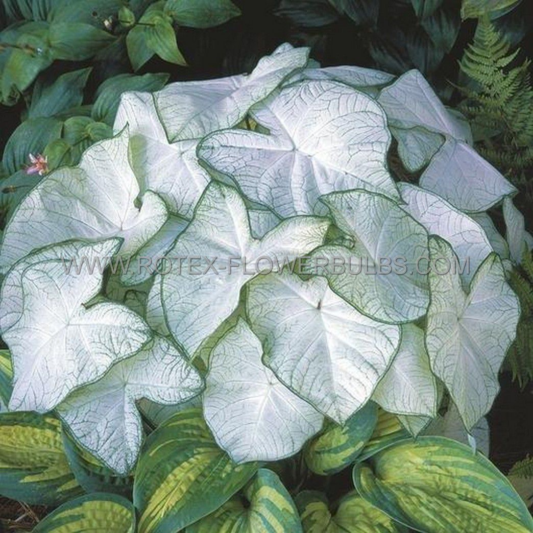 caladium fancy leaved florida moonlight no1 200 pcarton