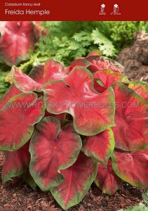 CALADIUM FANCY LEAVED 'FREIDA HEMPLE' JUMBO (100 P.CARTON)