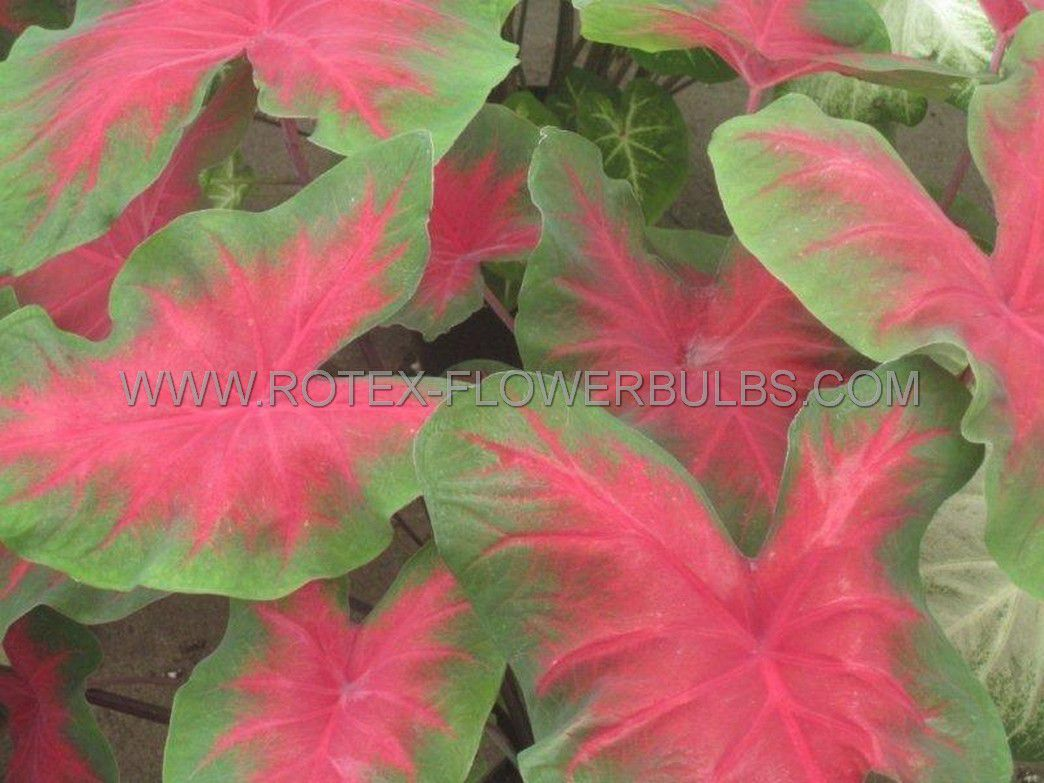 caladium fancy leaved freida hemple jumbo 100 pcarton